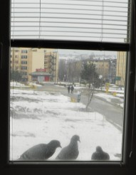 Pigeons on my sill
